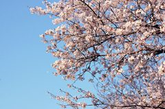 空をバックに咲く桜