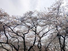 街コン婚活パーティー【上野公園】4/2(日)『カフェ×散歩コン/』お花見&人気裏スポット巡り04