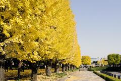 昭和記念公園のカナールのイチョウ並木