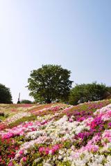 昭和記念公園のお花畑