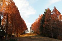 昭和記念公園のうんどう公園のイチョウ並木