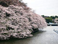 千鳥ヶ淵の満開の桜