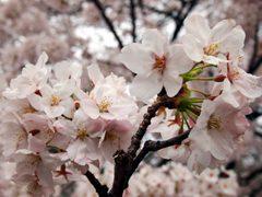 千鳥ヶ淵の見ごろの桜
