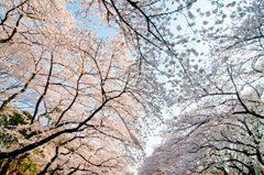 上野公園の桜トンネル