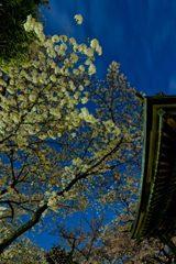 風情ある夜桜